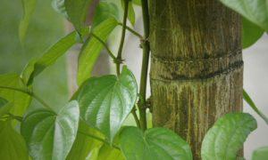 Lá trầu không - thảo dược tự nhiên trị ngứa vùng kín an toàn