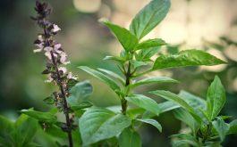 Lá húng quế: Thảo dược khử mùi hôi vùng kín hữu hiệu