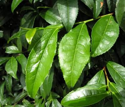 cách khử mùi hôi vùng kín sau sinh bằng lá chè xanh