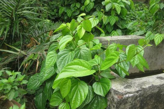 cách khử mùi hôi vùng kín sau sinh bằng lá trầu không